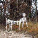 dva dalmatinca