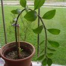 Zamioculcas- zamifolia