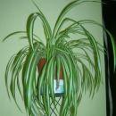 Chlorophytum comosum - živkasta kosmuljka