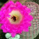 Echinocereus pectinatus var. rigidissimus