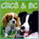 CKCS in BOC avatar