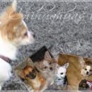 www.chihuahua.mojforum.si logo