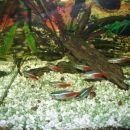 Neonke - tropske ribe