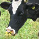 Krava. kaj so ji to v nos dal, nesramneži?