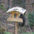 Veverica, redno prihaja v ptičjo krmilnico. Na drugi strani brglez.