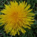 Taraxacum officinale - Regrat Avtor: Gretka* rastline.mojforum.si