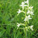 Dvolistni vimenjak - Platanthera biflora. Močno diši zato jo oprašujejo nočni metulji