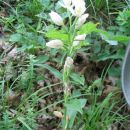 Bleda naglavka - Cephalanthera damasonium Ogrožena vrsta po slovenskem rdečem seznamu.