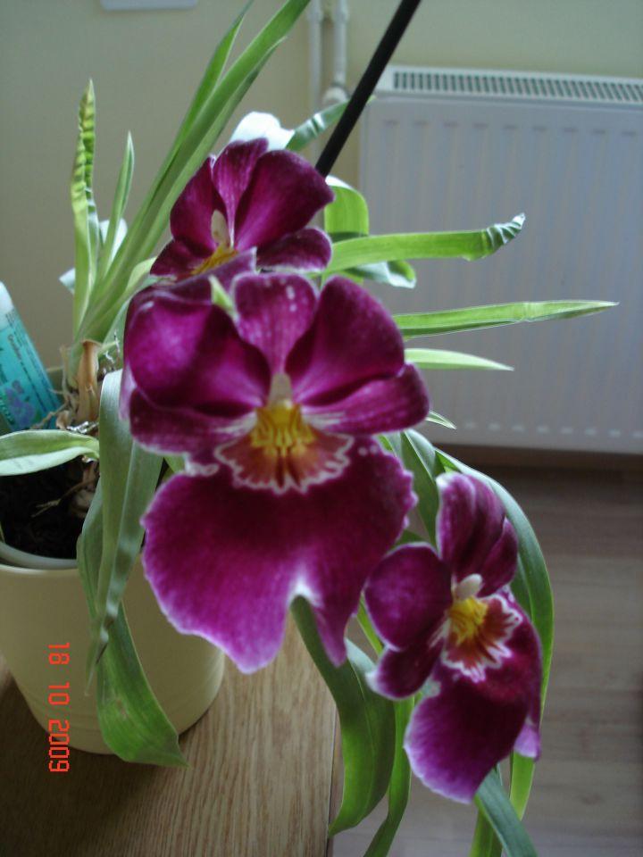 Orhideje - foto povečava