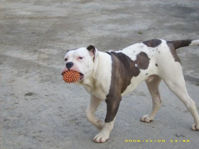 AM.bulldogs - foto