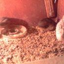 mlade prepelice čez 35 dni bodo že nesla jajčka