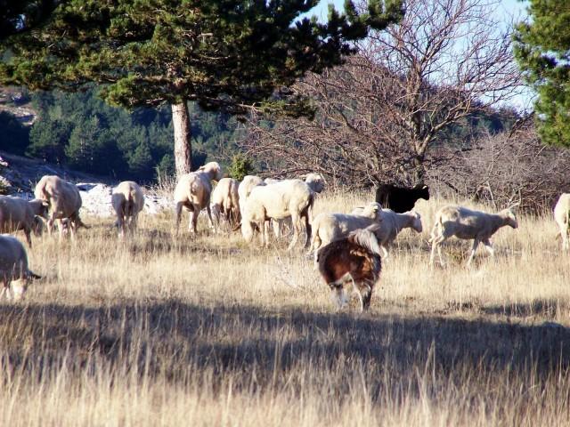 Prvi se nam je predstavil kraški ovčar, domača avtohtona pasma