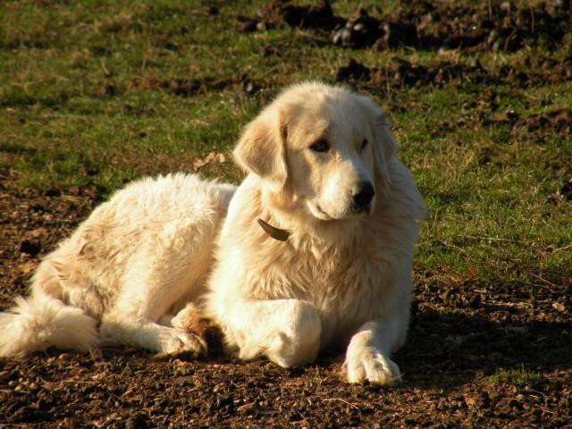 Madžarski pastirski pes - tretji in zadnji predstavnik čuvajev tropov drobnice