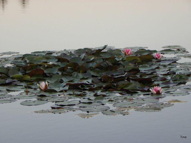 Okras Ribniškega jezera - prelepi lokvanji