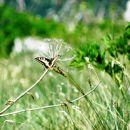Da bi le laho poleteli v dolino, kot ta metulj