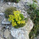 Ponujala se nam je paleta alpskih rož - vednozeleni kamnokreč