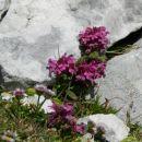 Vretenčasti ušivec, v ospredju alpska suholetnica