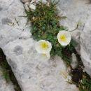 Parček julijskih makov vgnezden v skalno razpoko