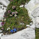 Nizki svišč, alpska suholetnica, marjetičastolistna nebina (bela)