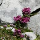 Vretenčasti ušivec, alpska suholetnica