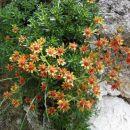 Vednozeleni kamnokreč (je lahko rumen ali do rdečeoranžen cvet)