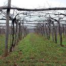Ob lepo urejenih vinogradih smo se vračali v Kobjeglavo