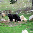 Ovčji in kozji pastirji