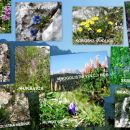 Kolaž nekaterih cvetlic od vznožja do vrha Olševe