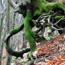 Gozdna hobotnica