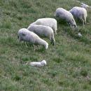 Mala ovčka je po obilnem kosilu malce zalegla