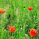 Rdeči mak sredi zelenih trav