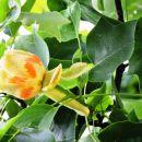 Nagrajeni smo bili s cvetočim drevesom - tulipanovcem