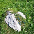 Zaspančki - spomladanski svišči so si postlali kar na skali