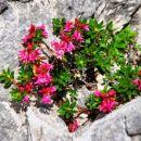 Rododendron ali dlakavi sleč sredi skale