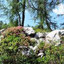 Rododendron ali dlakavi sleč v vsej svoji lepoti nam je delal družbo