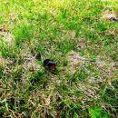 Čmrlj ali bumbar je pristal na travi