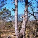 Svojeglavi bor