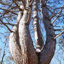 Štiriglavi bor