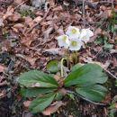 Kar štirje cvetovi so pozdravljali prihod pomladi