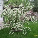 Cvetoči jasmin
