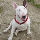 BULLTERRIER BAXTER AND FRIENDS