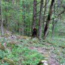 medved ob poti
