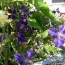 še ful cvetijo...