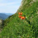 kranjska lilija