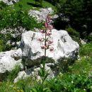 gospa turška lilija