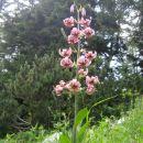 turška lilija