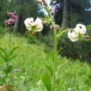 turška lilija - albinka