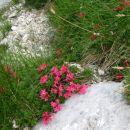 rododendron ali dlakavi sleč
