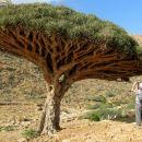 drevo zmajeve krvi ( draceana cinnabar ), smolo uporabljajo v medicin. namene
