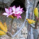 puščavska roža, oz. cvet stekleničastega drevesa